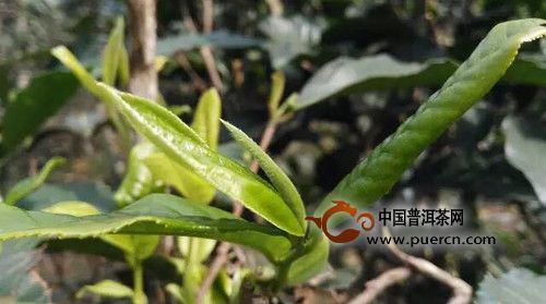 【特别推荐】澜沧江流域普洱茶树种大全