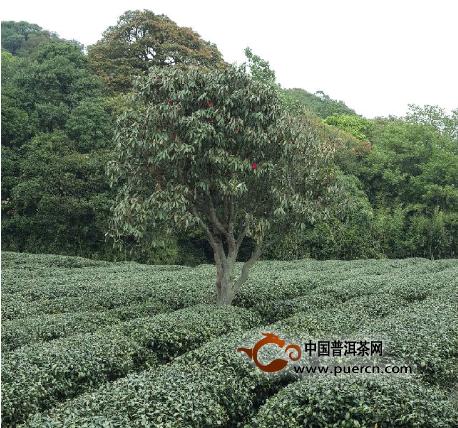 开创云南乌龙茶:台湾父子的守望