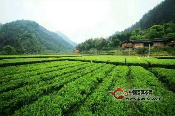 你喝的每一杯茶背后,都充满了茶农的心酸!