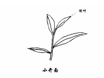 从采摘芽叶的角度出发,了解茶叶的嫩老程度