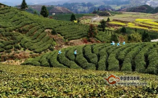 """乾隆《贵州通志》(1714年)载:""""茶,产龙里东苗坡及贵定翁栗冲,五柯树图片"""
