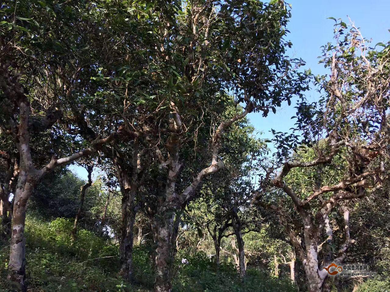 茶树生长过程中的几个时期
