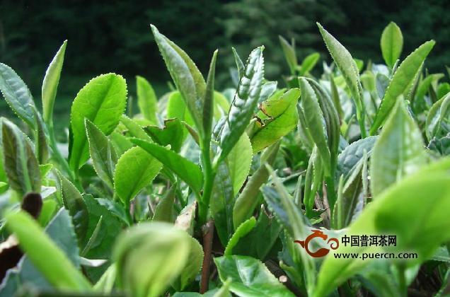 茶园管理如何才能提高茶叶品质