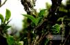 【年度新闻盘点】普洱茶行业重点新闻之热点篇