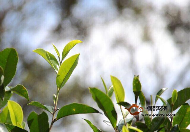 普洱茶四大价值之特殊工艺的价值 ——顺应自然的启示(4)
