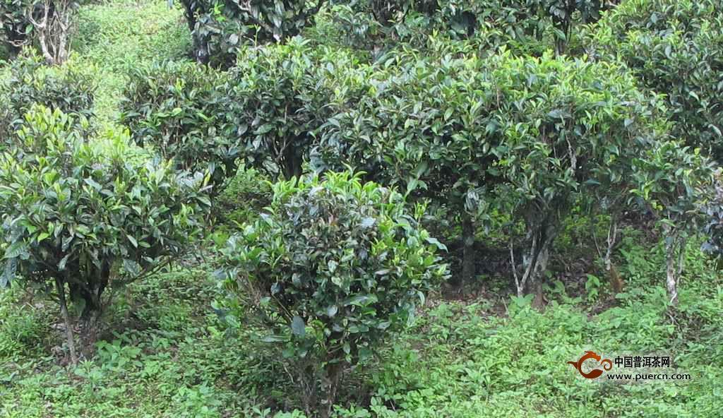 【灌木型茶树】树形矮小,没明显主干,分枝较低也较多,发芽密,乃采摘