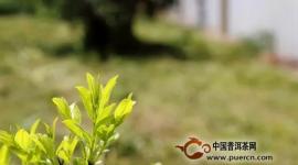 """【暴走茶话】春茶季,是谁把茶骗子""""逼""""上了茶山?"""