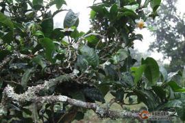 普洱茶:发酵食品中的另一座巅峰