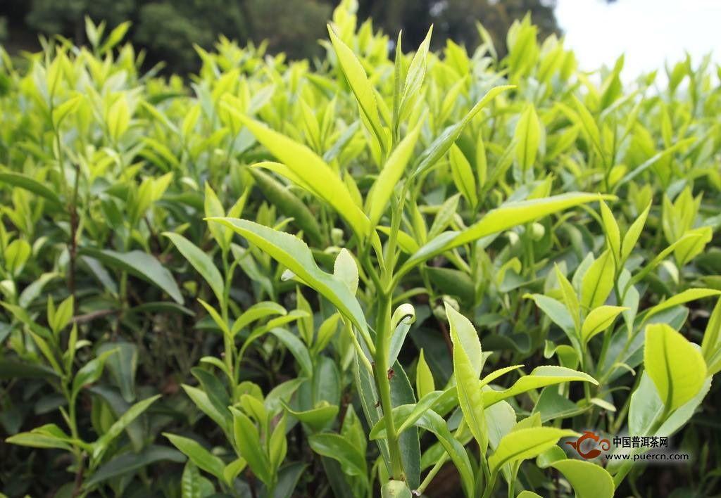 乌龙茶的采摘标准是什么