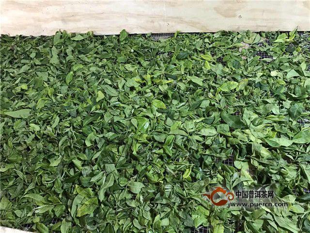 3月20日16点48分 今早采摘的鲜叶在勐库丰华茶厂初制所摊晾