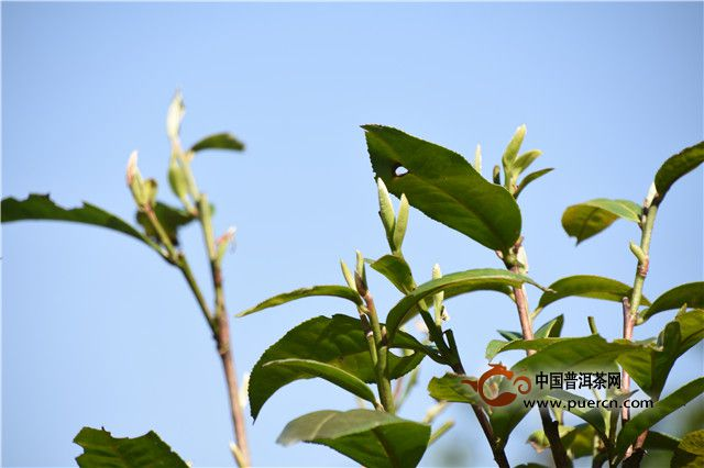 茶树发芽情况播报
