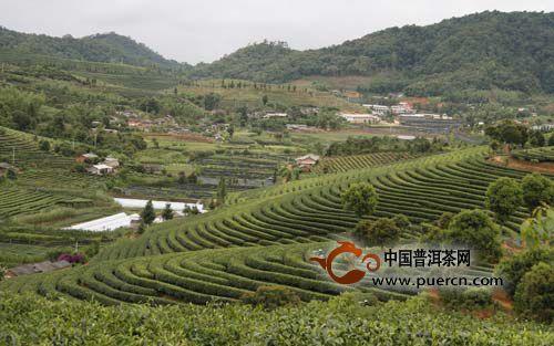 云南茶叶产业发展情况