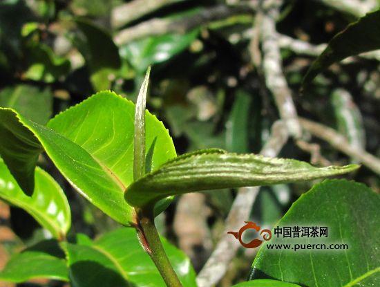 云南普洱茶的茶树品种及特点图片大全