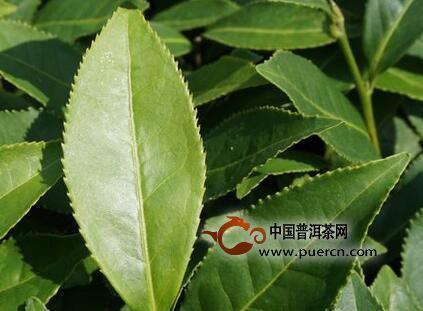 小叶种,中叶种,大叶种茶树怎样区分