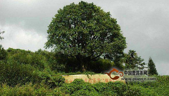 临沧茶树资源丰富,经研究部门调查,全市共4个茶系,8个品种。野生古茶树群落众多,全市七县一区都有丰富的野生茶树群落和栽培型古茶园。临沧勐库镇,被称为普洱茶最重要的物种基因库,诞生于此的勐库大叶种茶,是最有名的云南大叶种茶。最具代表性的野生茶树资源为勐库野生茶树群落和古茶园,千年野生古茶树群落地处大雪山中上部。