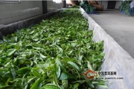 吴疆说普洱:古树茶概念成立的初衷