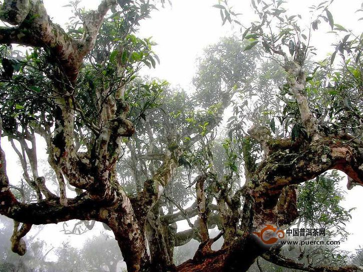 普洱茶树龄是怎样影响普洱茶的口感的?