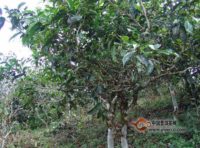 保塘古茶区与森林灌木共生,古茶分布密度较低,散布在森林里.
