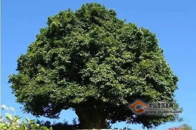 千年茶王树锦绣茶王