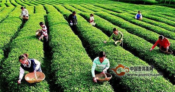 《亚博》国内茶产业缺乏龙头:茶企开始寻求联盟,实现抱团发展