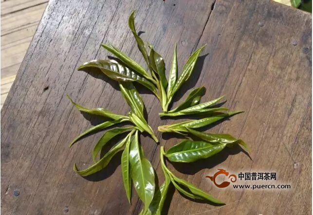 野生茶是没有经过人类栽培驯化利用的茶树,野生茶是茶树的源头,是人类研究茶叶发展的活化石。野生茶多生长于人迹罕至的原始森林深处,不显毫,口感酸涩,制作成普洱生茶品质多不理想。经不断深入研制,制成红茶,经过发酵后,去除了野生茶的寒凉呆滞茶性和酸涩的口感,香气好,甜度高,汤感饱满,品感非常不错。