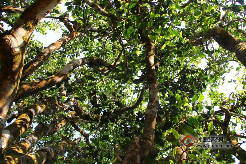 亚博 APP勐宋古树茶是普洱茶苦茶中的代表.