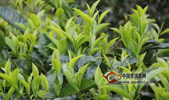 """近年来以普洱茶作为原料已经制作出了:普洱绿茶、普洱青茶、普洱红茶、普洱黄茶和普洱白茶,而人们经常说""""普洱茶""""属于黑茶,是特指的熟茶,生茶其实与这六类茶叶都不太吻合。普洱生茶较之于普洱熟茶还是有一定优势,建议喜爱普洱茶的朋友可以选择正宗的云南班章普洱生茶饼,既可以泡饮,也具有收藏价值。"""