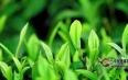 解密茶树氟吸收机理及其对基因表达的影响
