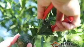 小青柑是在消耗,还是在成就普洱茶?