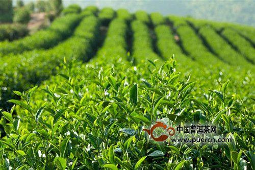 气温雨量对有机茶叶产量和茶叶品质有什么影响?