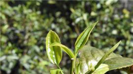 过去几年普洱茶市场最大的悲哀是什么?