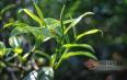 茶树品种和茶树栽培条件对茶叶品质的影响