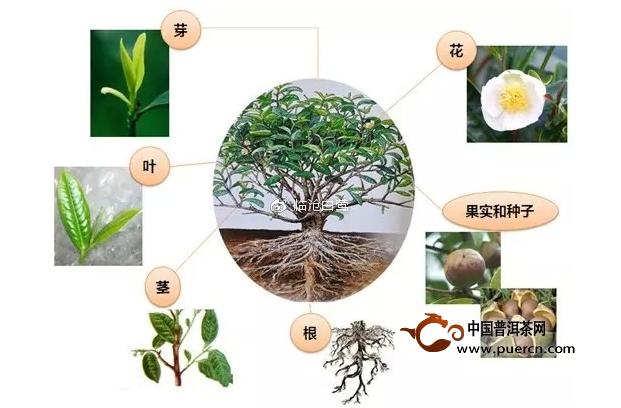 茶树上的茎,叶和花都是由茶芽发育而来的,是茶树系统发育过程中