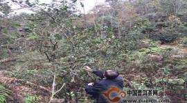 省级专家到广南采集野生古茶树样本,为后续茶树资源开发提供科学依据