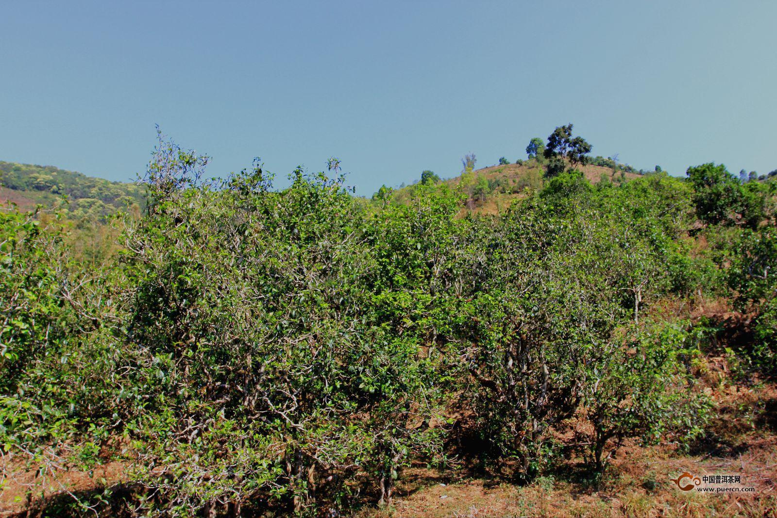 云南的原始物种的茶树可分为三个代级