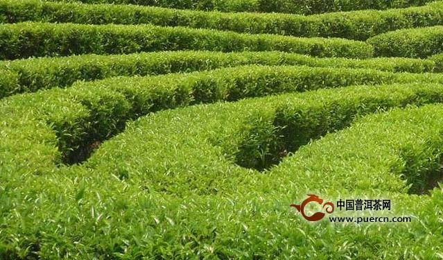 无公害茶叶加工技术,最佳种植时间