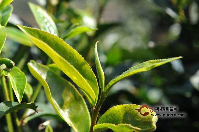 普洱生茶和熟茶怎么区分?