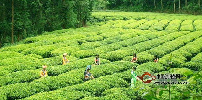 滇红茶是什么样的茶