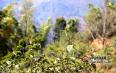 春茶价格预测不靠谱?——《2018普洱春茶价格分析档案》为你解答心中的疑问!