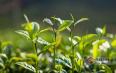 怎样辨别普洱头春茶、二春和尾春茶?