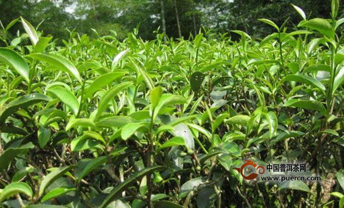 小种、滇红、祁门红茶的不同特征