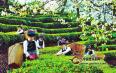 普洱茶背后的故事:普洱茶种植的那点事