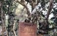 《普洱市古茶树资源保护条例》获省人大常委会批准