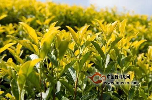 黄茶的种类,黄茶有哪些?