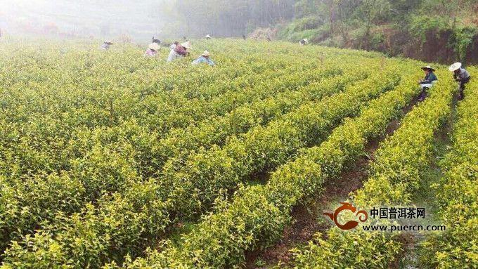黄茶的产地是哪里