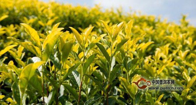 黄茶的品质怎么鉴别