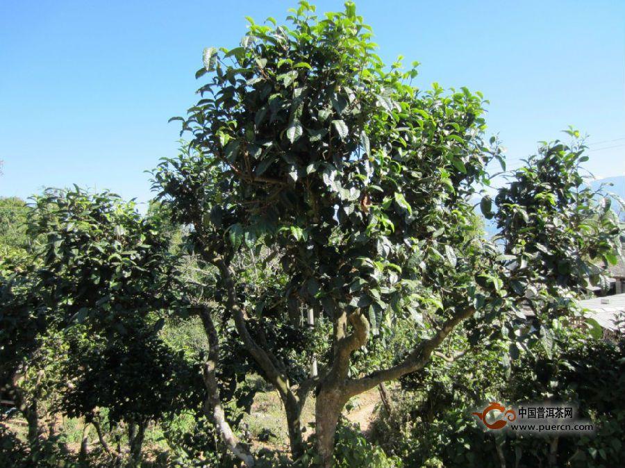 市场上90%的熟茶都不是古树茶,为什么不用古树料做普洱熟茶?