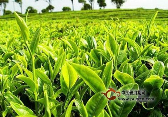 权威发布:2018中国春茶产销形势分析报告