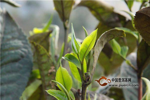 福鼎白茶的制作方法