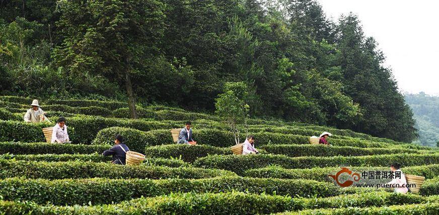 6月13日,武隆区白马镇豹岩村村民在天尺坪茶叶基地采摘夏茶.